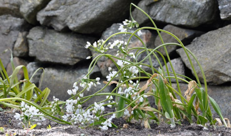 Allium-cowanii