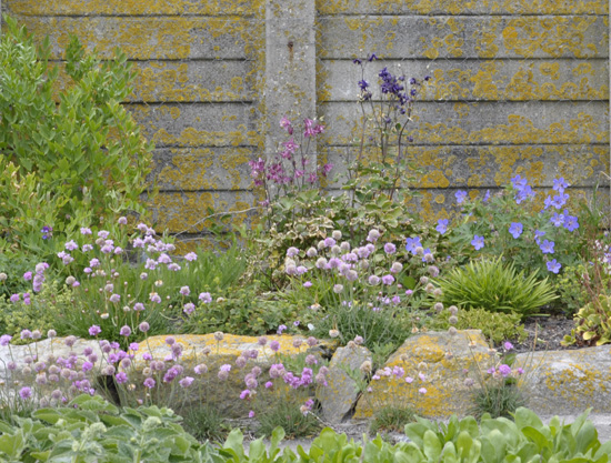 Aquilegias and geraniums with thrift and loveage