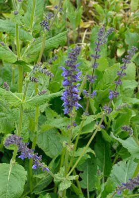 Meadow Clary (Salvia pratensis)