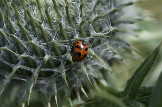 Ladybird Coccinella undecimpunctata