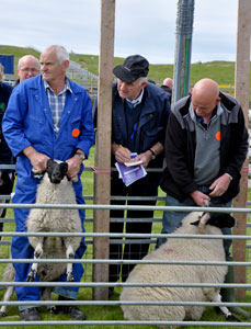 Judging sheep