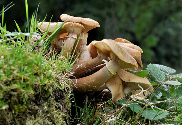 Armillaria mellea Honey Fungus