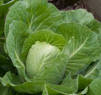 summer cabbage growing in croft garden cottage vegetable garden