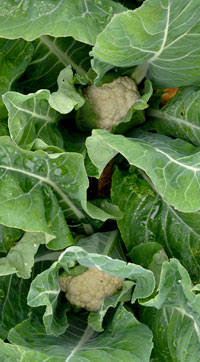 cauliflowers in croft garden cottage vegetable garden