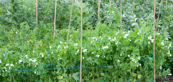 Sugar snap peas and broad beans growing in croft garden cottage vegetable garden