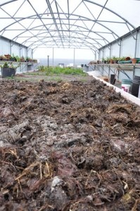 muck in the polytunnel