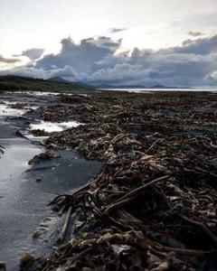 Kelp on the beach at Ardivachar