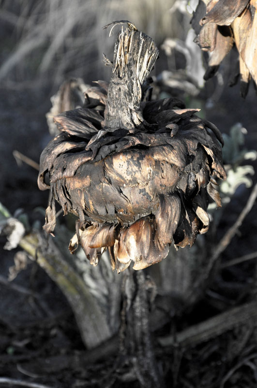 Artichoke in January