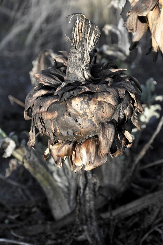 Artichoke in January