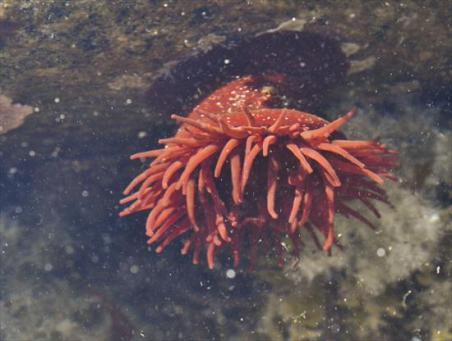 Beadlet anemone (Actinia equina)