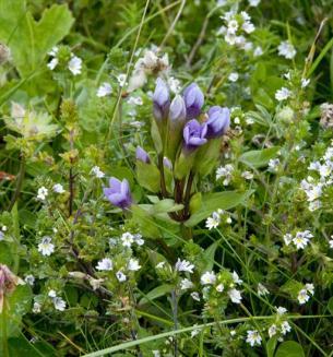 Field Gentian (Gentianella campestris)