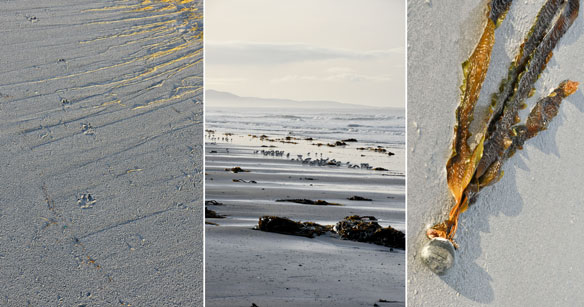 Life on Ardivachar beach - otter tracks, sanderling feeding on the tide edge, sugar kelp