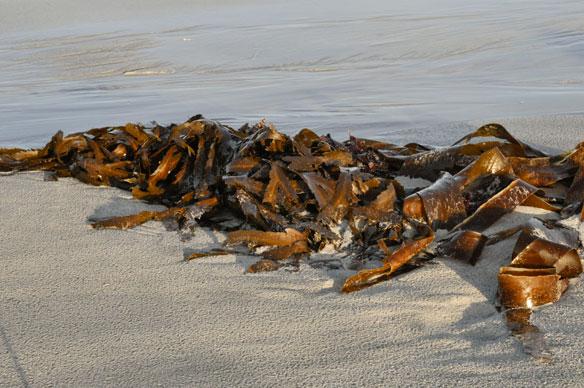kelp tangle
