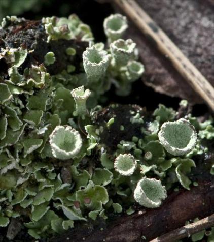 Cladonia humilis