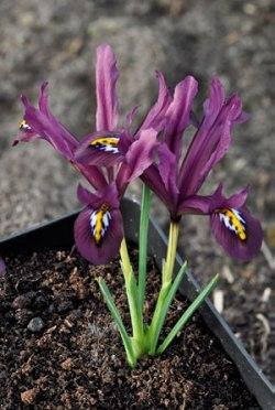Iris reticulata JS Dijt