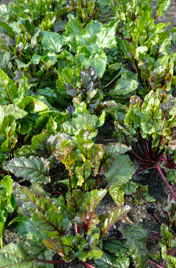 March-beetroot