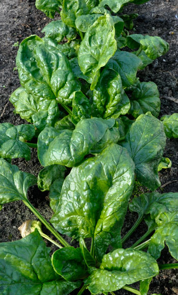 March-spinach