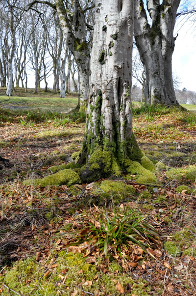 Beech Stornoway