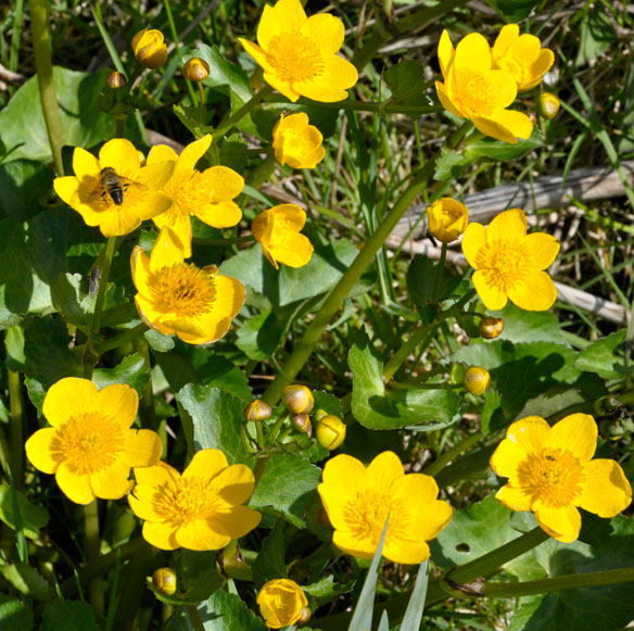 Marsh Marigolds, Kingcups, Caltha palustris with hoverfly (Eristalsis pertinax)