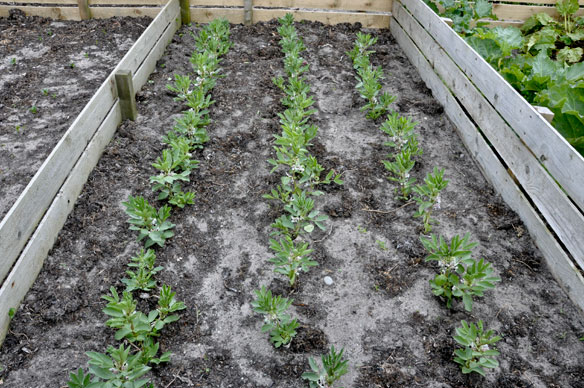 Broad beans - better late than never
