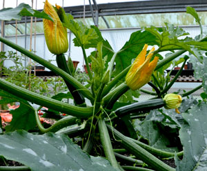 Courgette-Best-of-British