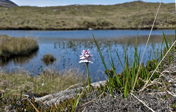 Heath-spotted Orchid