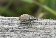 Marram Weevil Philopedon plagiatum