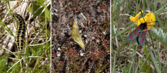 Six-spot Burnet - larva, chrysalis, adult