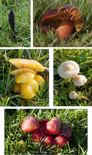 Earthtongue Geoglossum fallax; Crimson Waxcap Hygrocybe punicea; Golden Waxcap H. chlorophana; Snowy Waxcap H. virginea; Crimson Waxcap H. coccinea