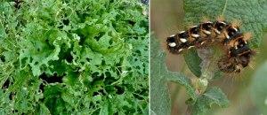 Rhubarb and Knot Grass caterpillar