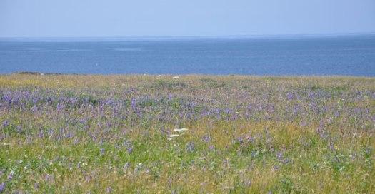 July blue haze of Tufted Vetch