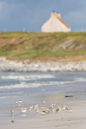 Sanderling ardivachar beach