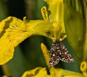 Beautiful Yellow Underwing-0