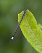 Blue-tailed Damselfly Ishnura elegans