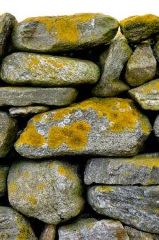 Golden-lichen-on-garden-wall