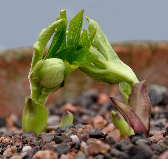 Helleborus multifidus bocconei