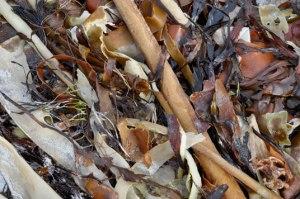 Kelp - laminaria seaweed