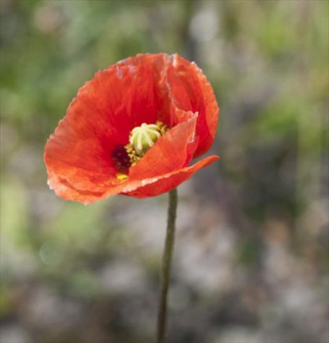 Long-headed Poppy (Papaver dubium)
