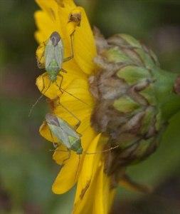 Capside Bug (Lygocoris pabulinus)