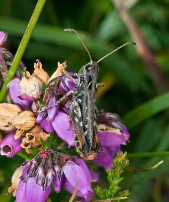 Mottled Grasshopper (Myrmeleotettix-maculatus)