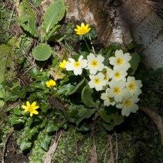 Primroses with Lesser Celandine