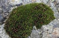 Seaside Grimmia (Schistidium maritimum)