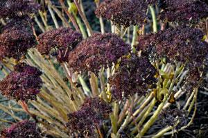 Sedum seedheads
