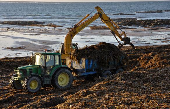 Collecting seaweed on Ardivachar beach