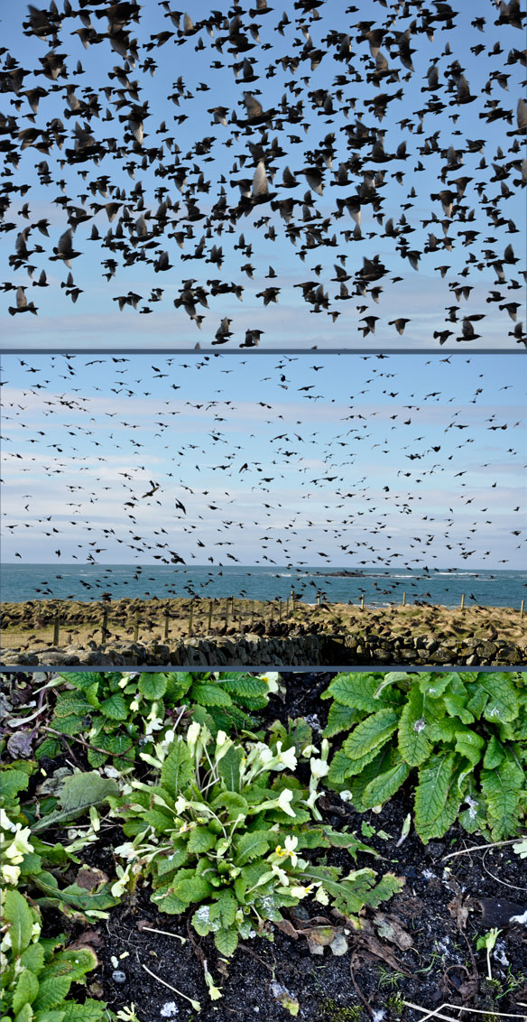 Starlings on the croft
