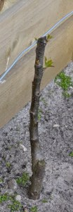 Apple tree year pruned and shooting