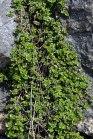 Thymus polytrichus