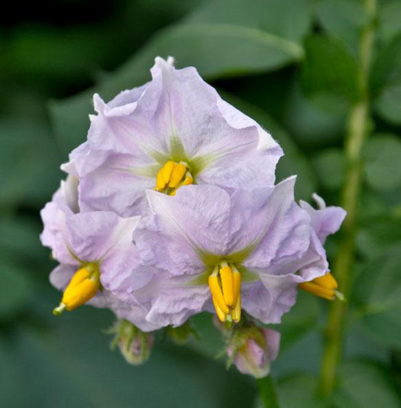 Solanum tuberosum Charlotte