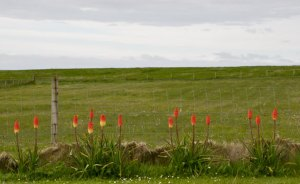 Kniphofias along the drive to the cottage.