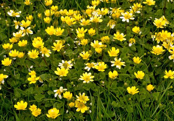 Lesser Celandine, Ranunculus ficaria